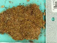 Lindbergia brachyptera image
