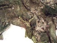 Pallavicinia lyellii image