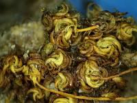 Tortula inermis image