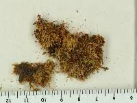 Sematophyllum adnatum image