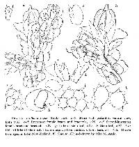 Image of Frullania fugax