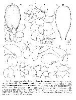 Image of Frullania spinifera