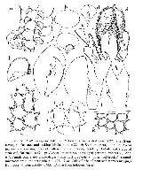Image of Frullania setchellii