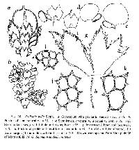 Image of Frullania bella