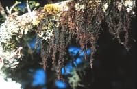 Image of Frullania rostrata