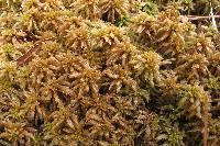 Image of Sphagnum affine