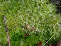 Image of Sphagnum molle