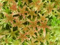 Image of Sphagnum russowii
