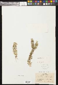 Image of Lycopodium serratum