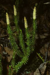 Image of Lycopodium annotinum