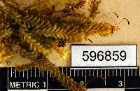 Fissidens polypodioides image